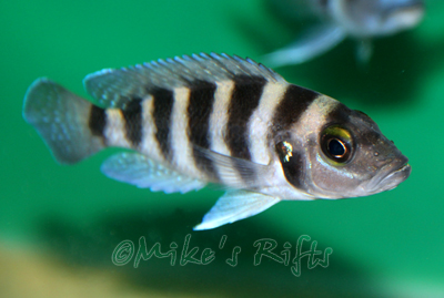 Neolamprologus sexfasciatus Blue and Black